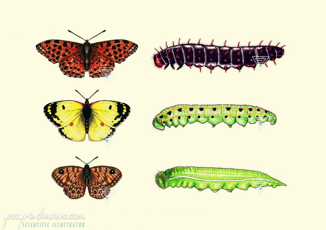 portfolio_butterflies-caterpillars_scientific_illustration_giorgiadimuzio