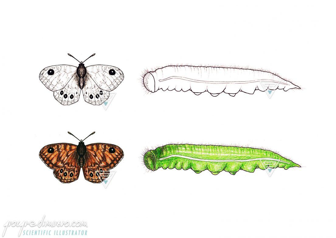 portfolio_butterflies-caterpillars_issoria_lathonia_scientific_illustration_giorgiadimuzio