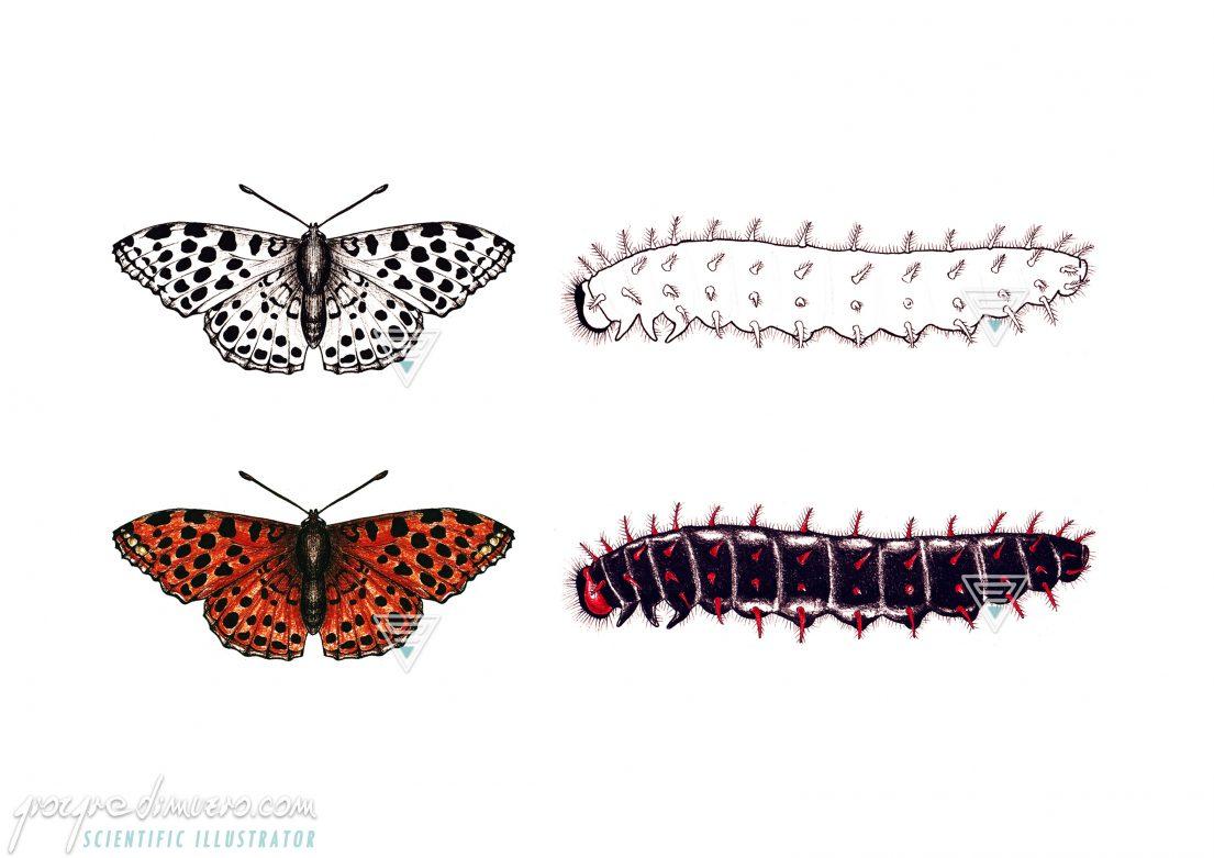portfolio_butterflies-caterpillars_lasiommata_megera_scientific_illustration_giorgiadimuzio
