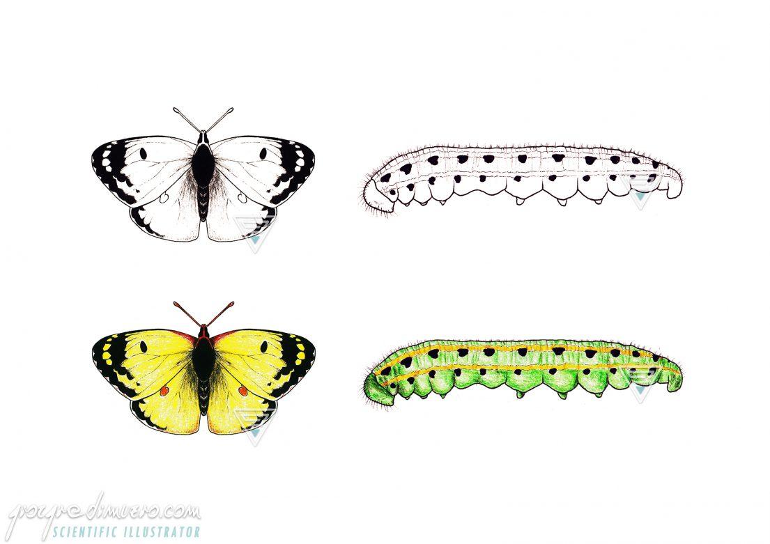 portfolio_butterflies-caterpillars_colias_alfacariensis_scientific_illustration_giorgiadimuzio