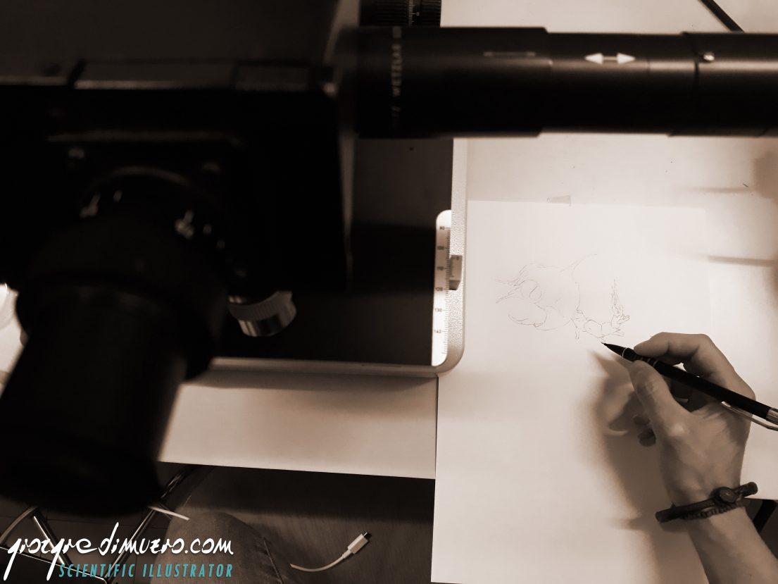 portfolio_crustacean-larvae_camera_lucida_crustacean_larva_scientific_illustration_giorgiadimuzio_07