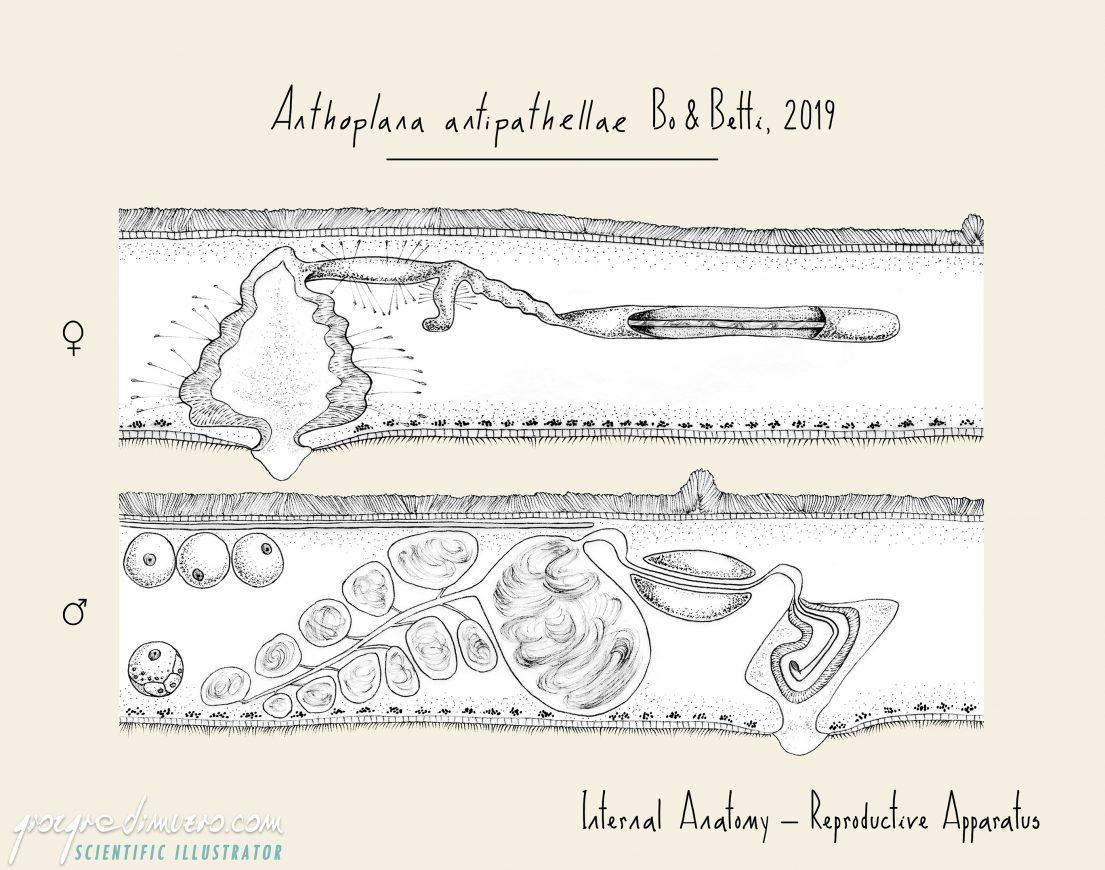 portfolio_flatworms_anthoplana_antipathellae_polyclad_flatworm_scientific_illustration_giorgiadimuzio_02