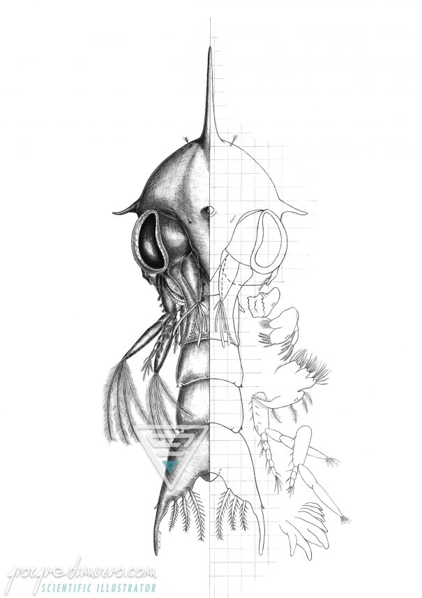portfolio_posters_uzi_taxonomy_scientific_illustration_giorgiadimuzio_03