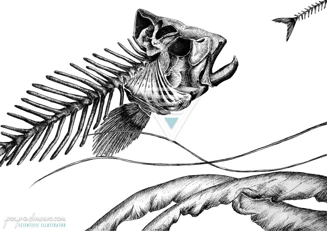 portfolio_traditional-art_jellyfish_fishbone_scientific_illustration_giorgiadimuzio_01