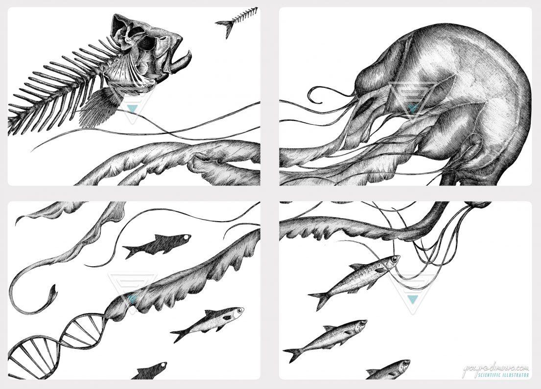 portfolio_traditional-art_jellyfish_fishbone_scientific_illustration_giorgiadimuzio_05
