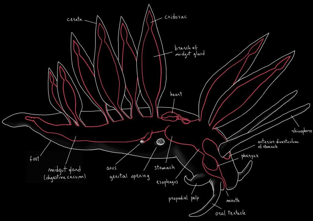 home_sea-slugs_anatomy_scientific_illustration_giorgiadimuzio