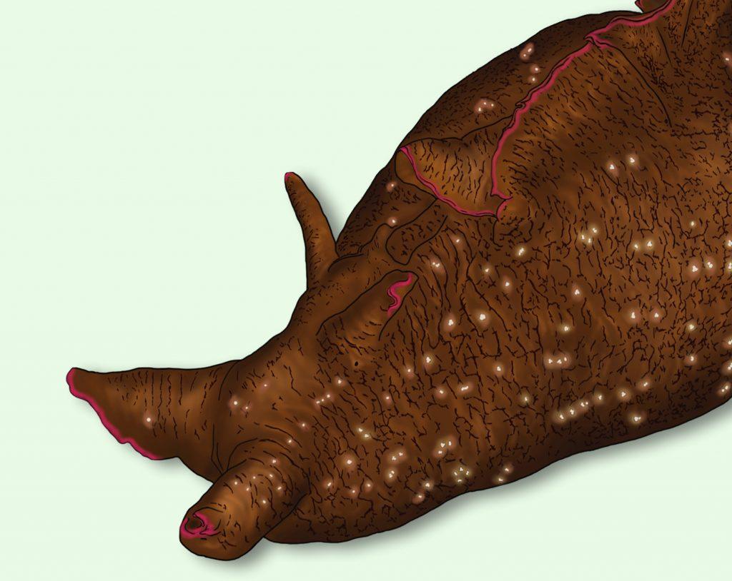 home_nudibranchs_aplysia_fasciata_scientific_illustration_giorgiadimuzio