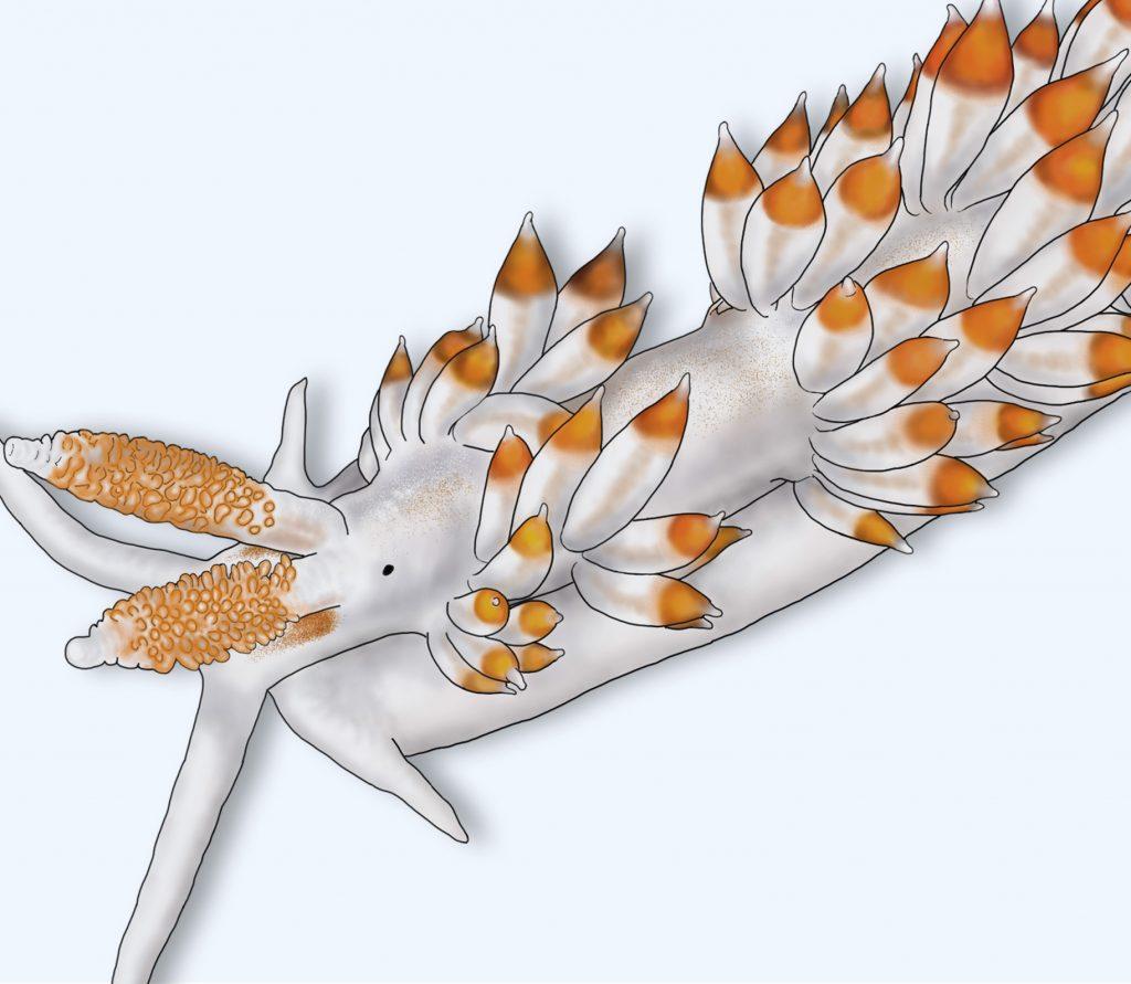 home_sea-slugs_berghia_verrucicornis_scientific_illustration_giorgiadimuzio