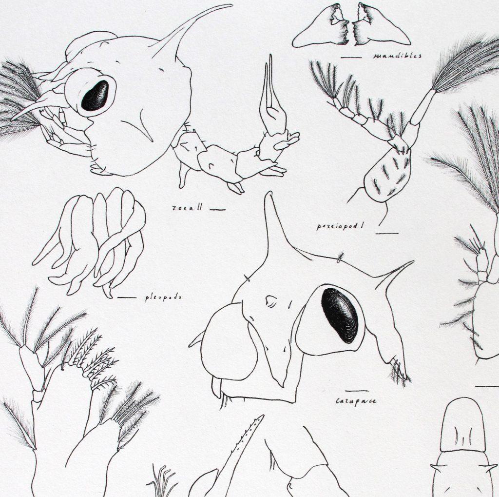 home_crustacean-larvae__palicus_caronii_zoea_crustacean_larva_scientific_illustration_giorgiadimuzio_02