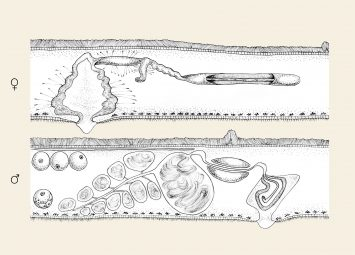 portfolio_flatworms_anthoplana_antipathellae_polyclad_flatworm_scientific_illustration_giorgiadimuzio