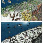 about_lithophaga_date_mussel_illegal_harvesting_scientific_illustration_giorgiadimuzio