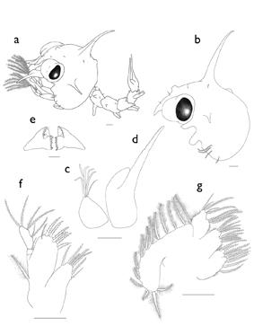 about_palicus_caronii_zoea_crustacean_larva_scientific_illustration_giorgiadimuzio